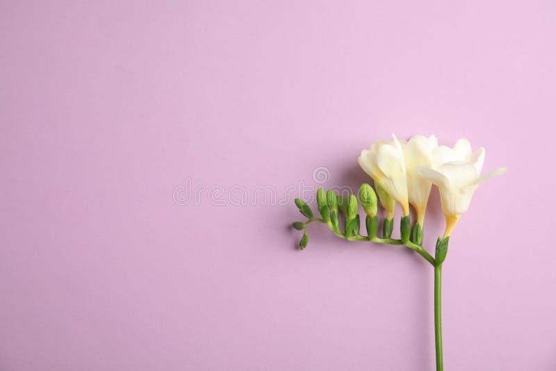 H?rlig freesia med doftande blommor p? f?rgbakgrund, b?sta sikt fotografering för bildbyråer