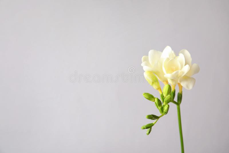 H?rlig freesia med doftande blommor p? gr? bakgrund royaltyfri foto