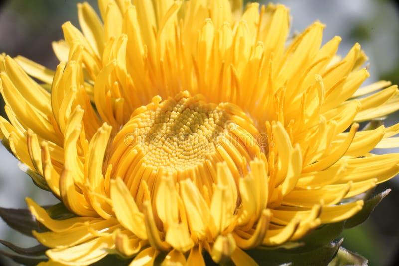 H?rlig gul maskrosblomma i naturligt ljus av gryning royaltyfri bild