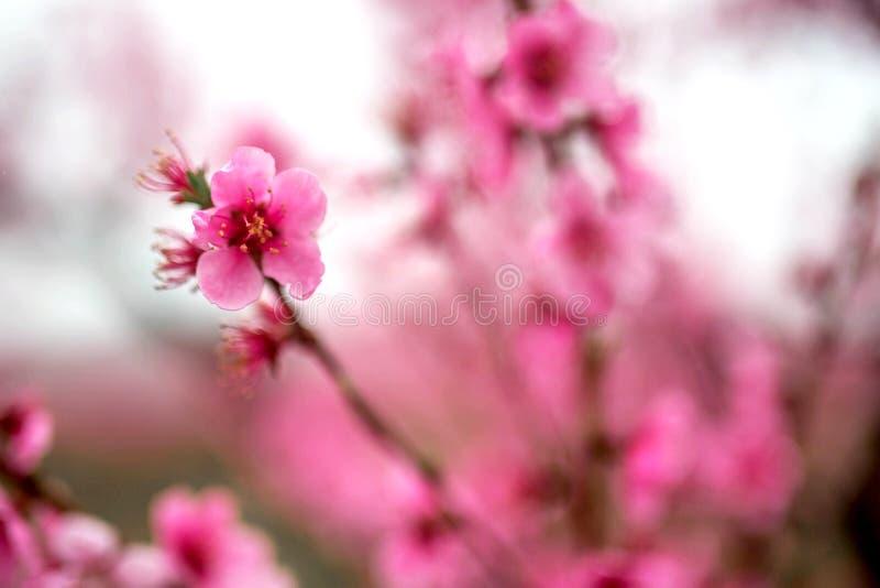 H?rlig k?rsb?rsr?d blomning sakura i v?rtid royaltyfria bilder