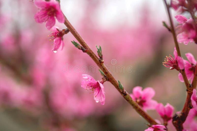 H?rlig k?rsb?rsr?d blomning sakura i v?rtid arkivfoto