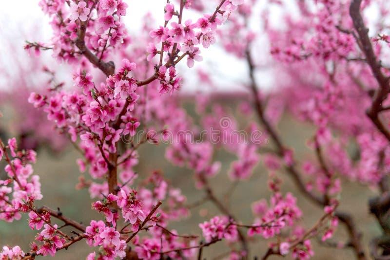 H?rlig k?rsb?rsr?d blomning sakura i v?rtid royaltyfria foton