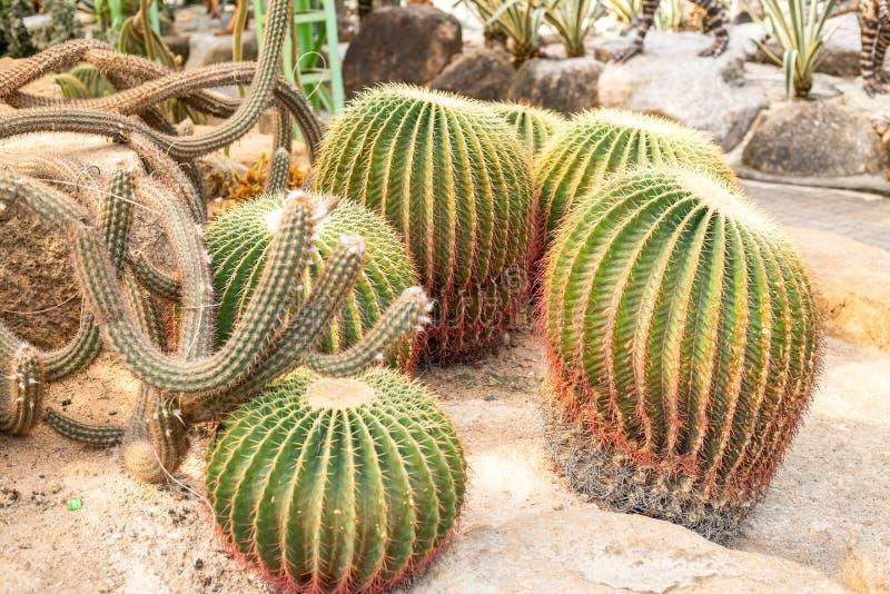 H?rlig kaktus royaltyfria bilder