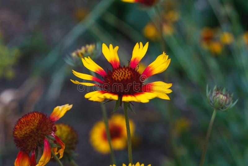 H?rlig ljus blommarudbeckia p? blommande gr?n ?ng arkivfoton