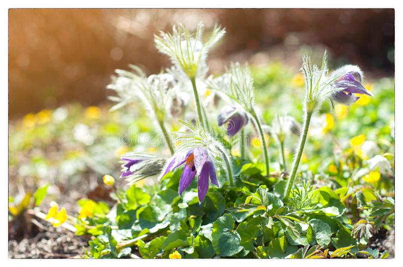 H?rlig purpurf?rgad liten p?ls- pasque-blomma Pulsatillagrandis fotografering för bildbyråer