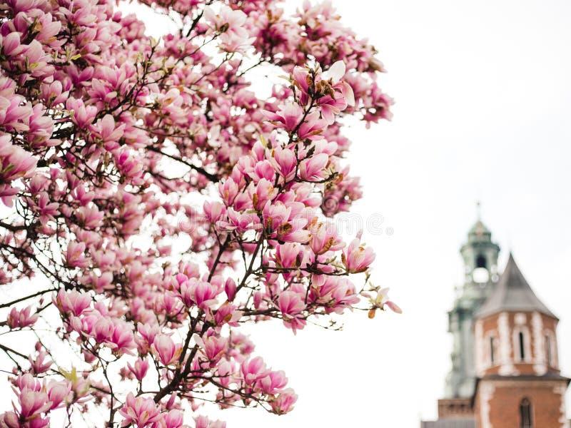H?rlig purpurf?rgad s?song f?r magnoliablommor p? v?ren i Polen slottkunglig personwawel Historisk stad av Krakow in arkivfoton