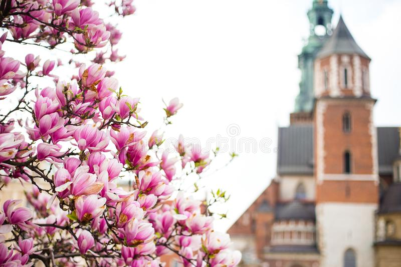 H?rlig purpurf?rgad s?song f?r magnoliablommor p? v?ren i Polen slottkunglig personwawel Historisk stad av Krakow in royaltyfri fotografi