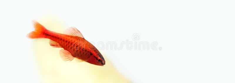 H?rlig r?d fisk p? mjuk gr?n bakgrund Manlig tagg som simmar den tropiska s?tvattens- akvariumbeh?llaren Puntius titteya arkivfoto