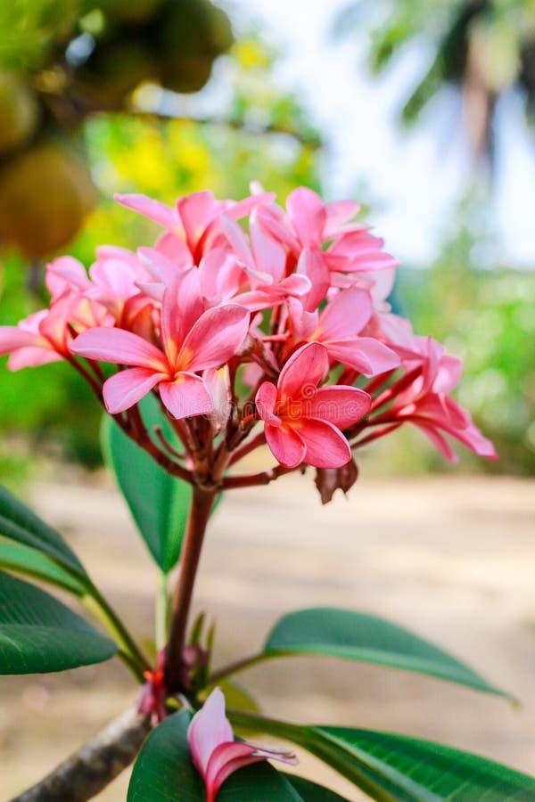 H?rlig rosa blomma-Plumeria royaltyfri foto