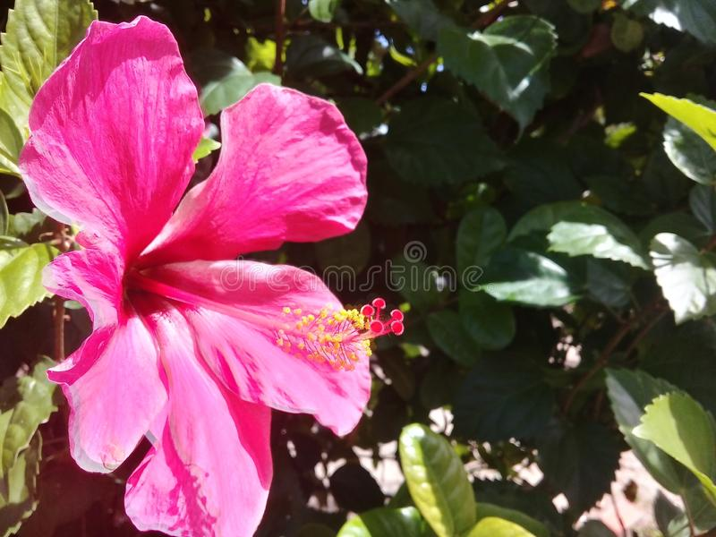 H?rlig rosa hibiskus i en tr?dg?rd royaltyfria bilder
