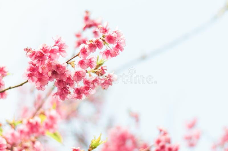 H?rlig rosa k?rsb?rsr?d blomning sakura arkivbild
