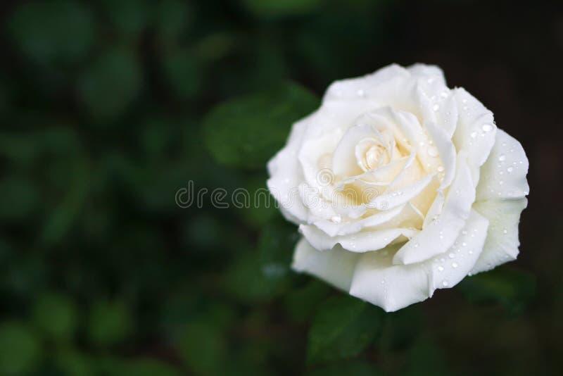 h?rlig rosewhite royaltyfri foto
