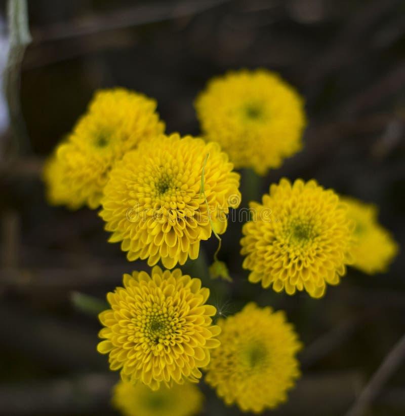 H?rlig sammans?ttning av gula krysantemum p? en suddig gr?n bakgrund som t?nds av en gladlynt v?rsol royaltyfri bild