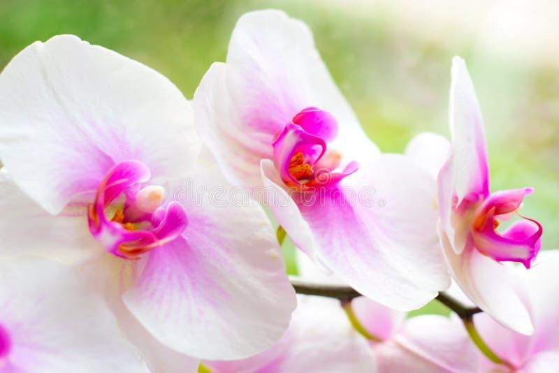 H?rlig tropisk exotisk filial med rosa och magentaf?rgade blommor f?r malPhalaenopsisorkid? i v?r arkivbild