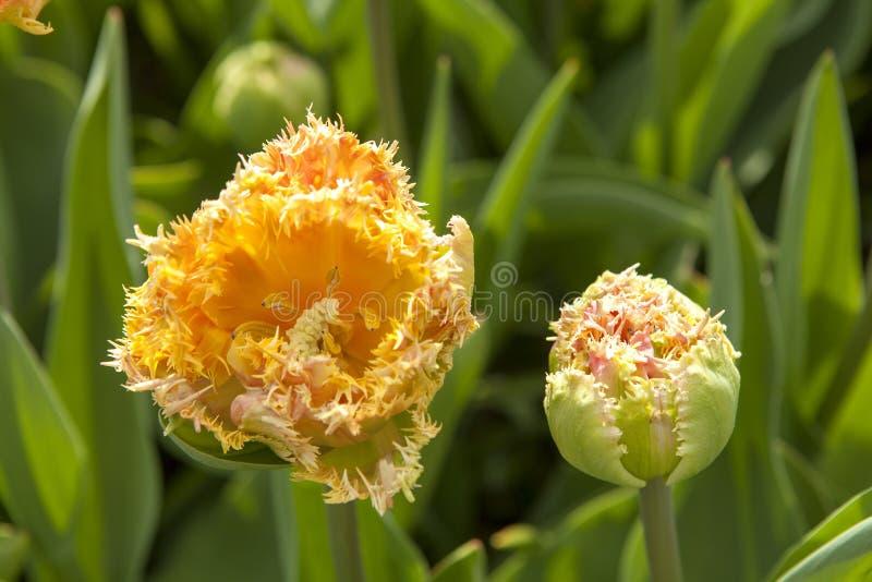 H?rlig typisk holl?ndsk orange tulpan fotografering för bildbyråer