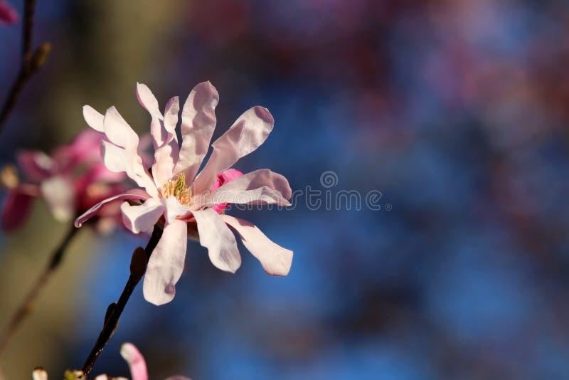 H?rlig v?rnaturbakgrund med att blomstra magnoliatr?det fotografering för bildbyråer