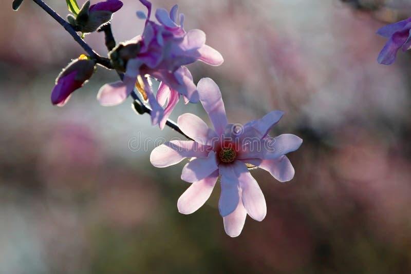 H?rlig v?rnaturbakgrund med att blomstra magnoliatr?det arkivfoto