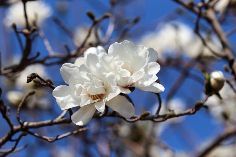 H?rlig v?rnaturbakgrund med att blomstra magnoliatr?det arkivbilder