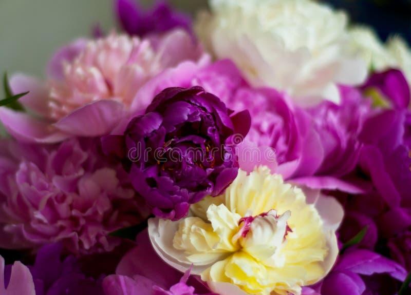 H?rliga blommor, pioner Den eleganta buketten av m?nga pioner av rosa f?rger f?rgar t?tt upp arkivfoton