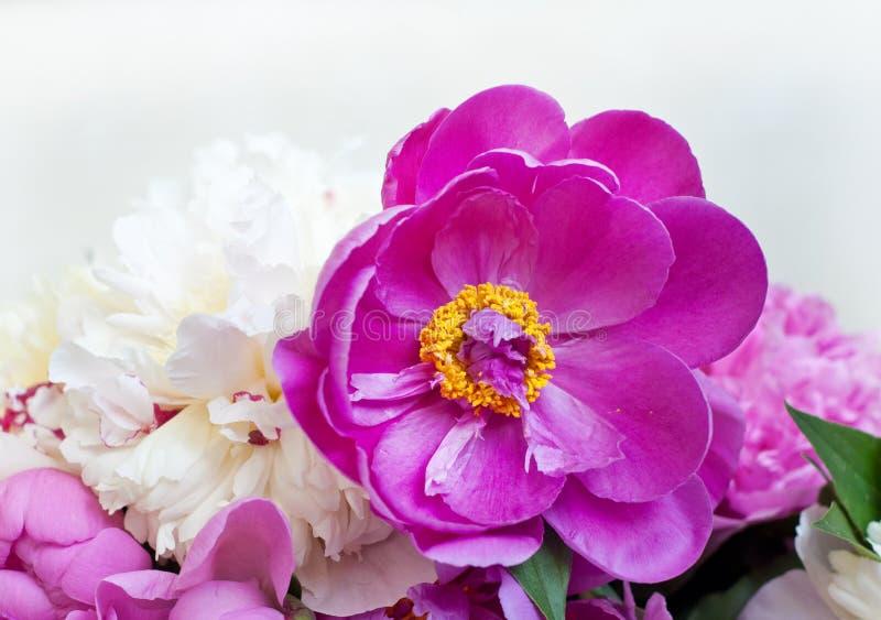 H?rliga blommor, pioner Elegant bukett av många pioner av slutet för rosa och röd färg upp royaltyfria bilder