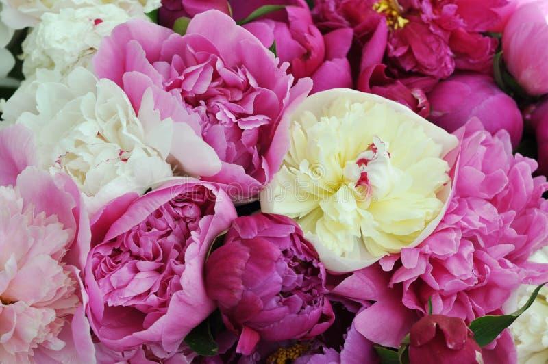 H?rliga blommor, pioner Elegant bukett av många pioner av slutet för rosa och röd färg upp royaltyfri bild