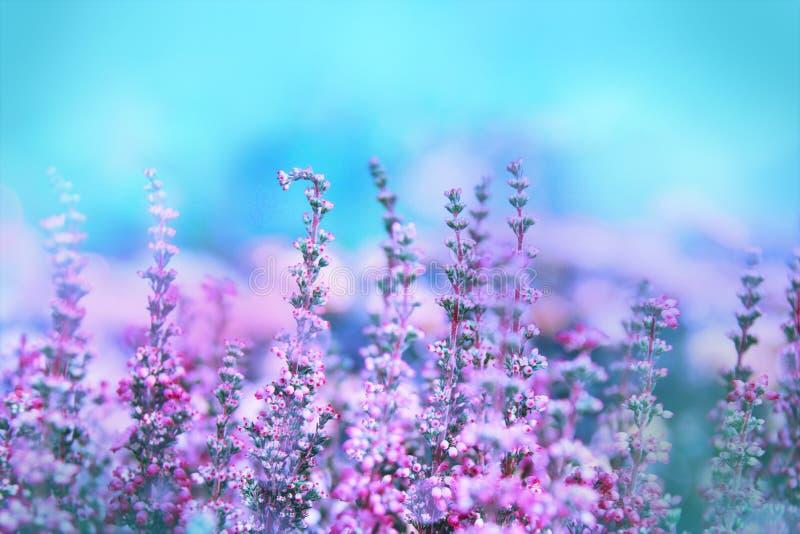 H?rliga blomstra kalla lilor kv?v den vulgaris ljungcallunaen royaltyfria bilder