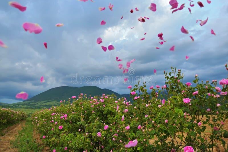H?rliga bulgariska Rosa damascena royaltyfri foto