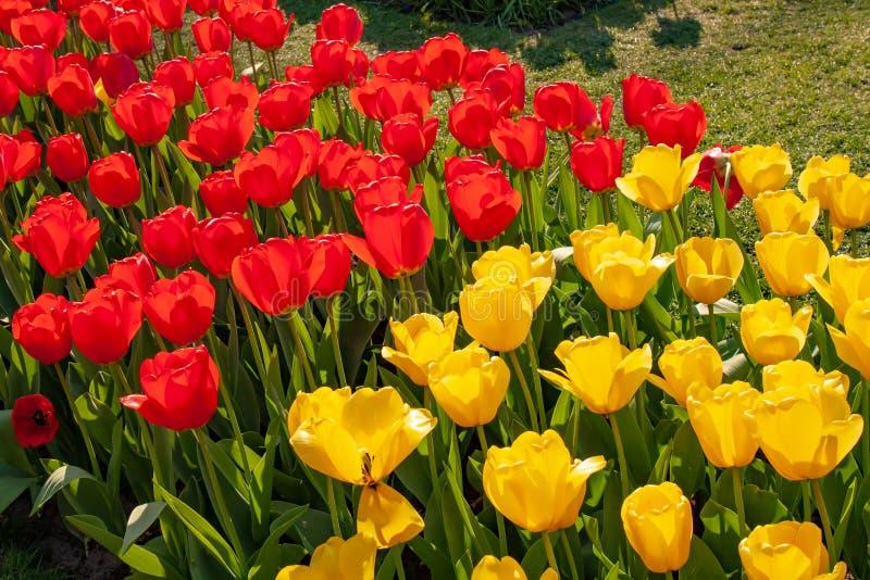 H?rliga f?rgrika tulpan i Holland - trevliga blommor royaltyfria bilder