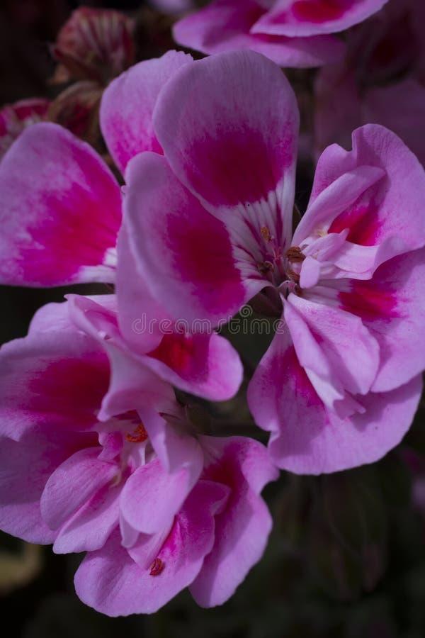H?rliga lila- och rosa f?rgblommor royaltyfri fotografi