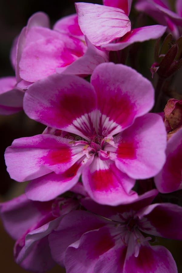 H?rliga lila- och rosa f?rgblommor arkivfoto