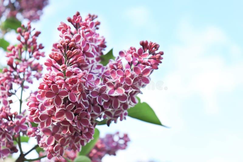 H?rliga mjuka delikata tv? f?rgade den vita och violetta lila blommafilialen p? bakgrund f?r bl? himmel royaltyfri foto