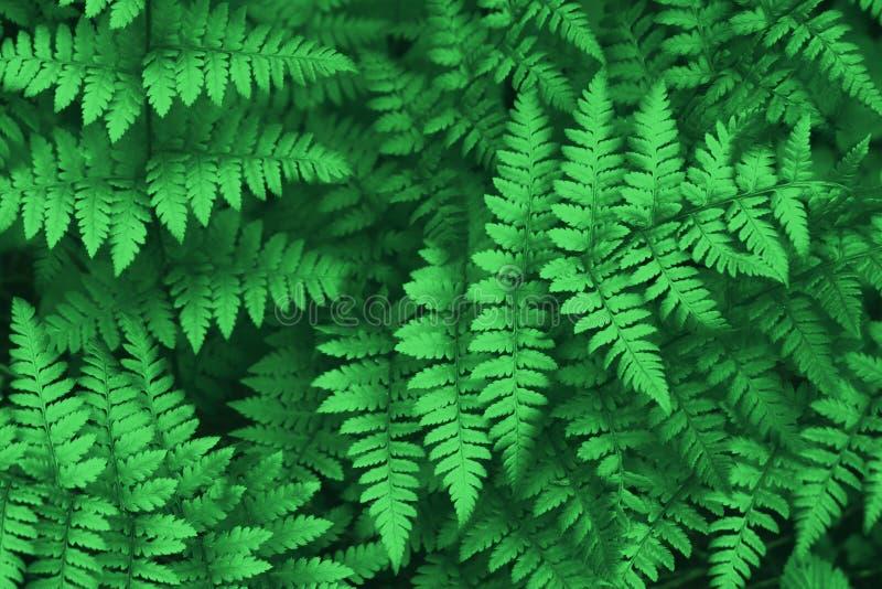 H?rliga ormbunkesidor g?r gr?n naturlig blom- ormbunkebakgrund f?r l?vverk fotografering för bildbyråer