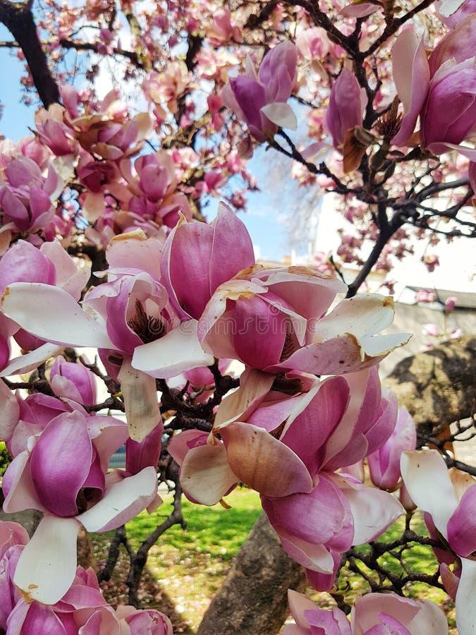 H?rliga purpurf?rgade magnoliablommor royaltyfri bild