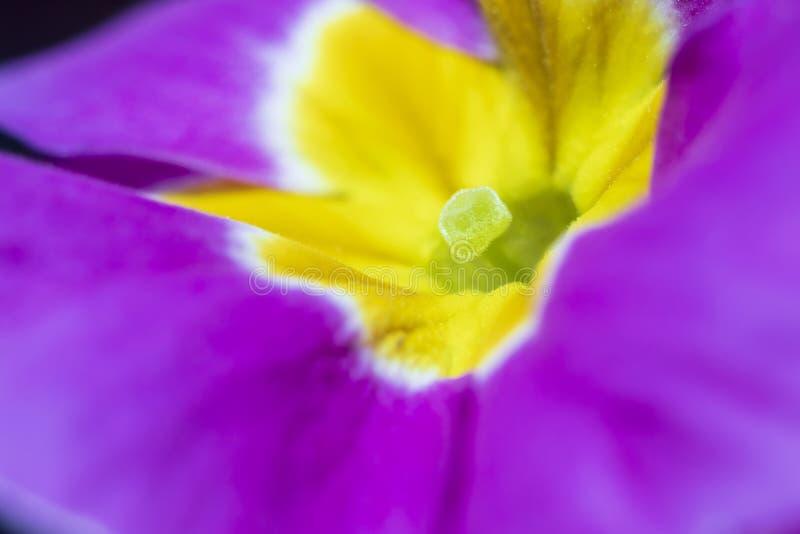 H?rliga purpurf?rgade petuniablommor royaltyfri foto