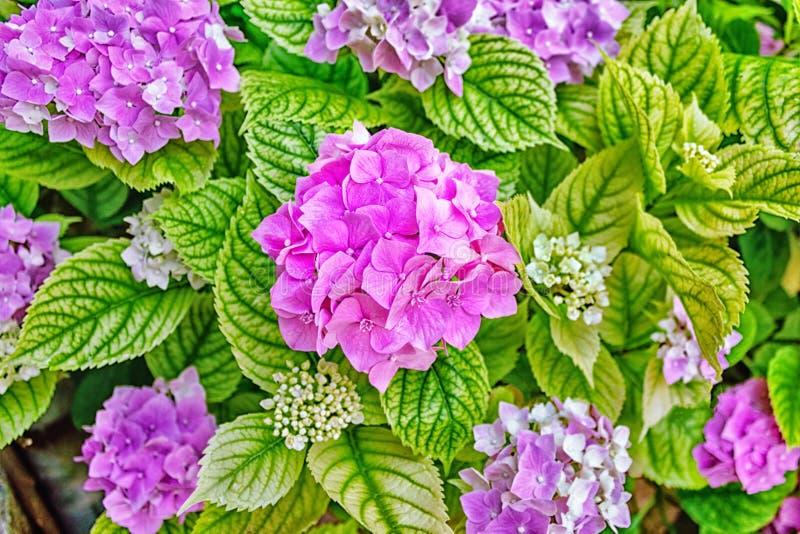 H?rliga rosa f?rg- och lilablommor royaltyfri fotografi