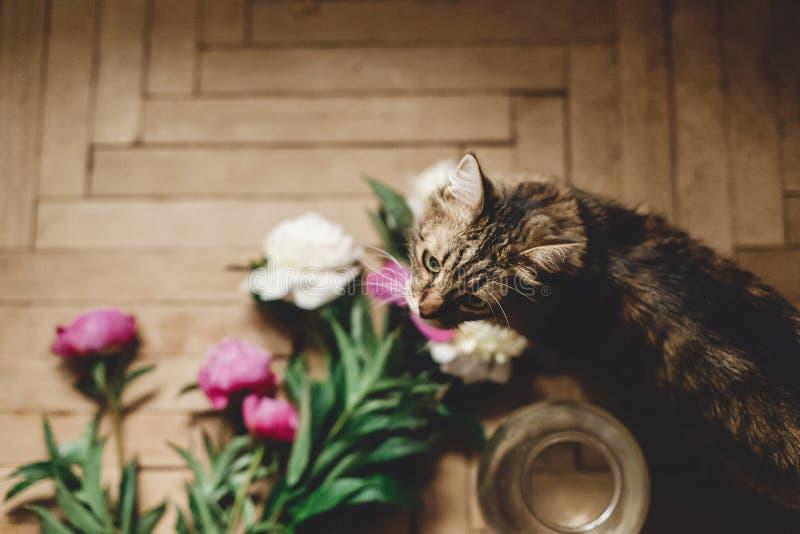 H?rliga rosa och vit pioner och katt p? lantligt tr?golv med den gammal exponeringsglaskruset och sax, b?sta sikt Blom- dekor och royaltyfria foton