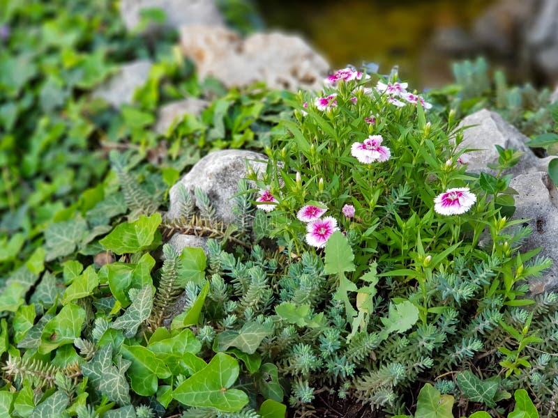 H?rliga rosa och vita l?sa blommor i gr?s och vaggar royaltyfria bilder