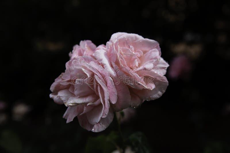 h?rliga rosa ro royaltyfri bild
