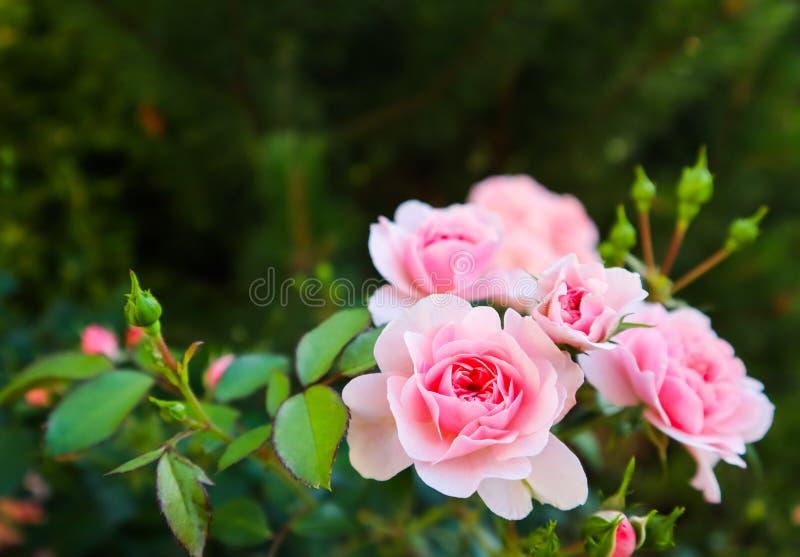 H?rliga rosa rosor i tr?dg?rden G?ra perfekt f?r bakgrund av h?lsningkort f?r f?delsedag, valentin dag och mors dag royaltyfri foto