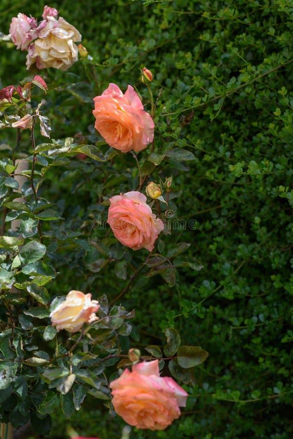 H?rliga rosor i tr?dg?rd royaltyfri foto