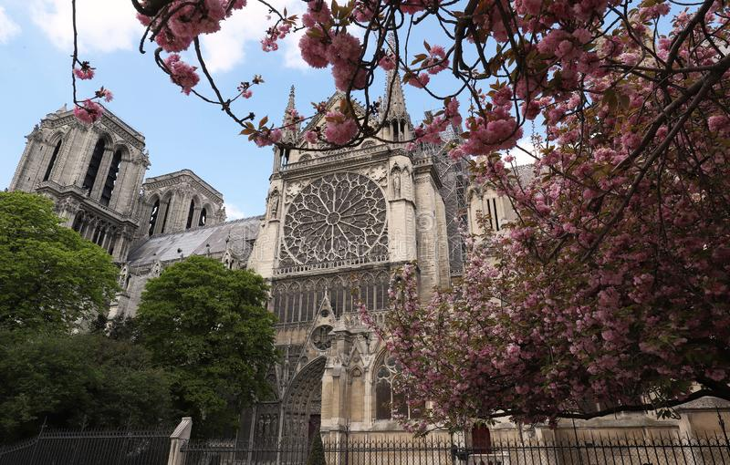 H?rliga tr?d f?r k?rsb?rsr?d blomning n?ra den Notre-Dame domkyrkan i Paris royaltyfria foton