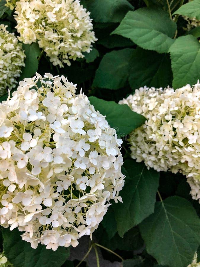 H?rliga vita blommor med gr?na sidor royaltyfria bilder