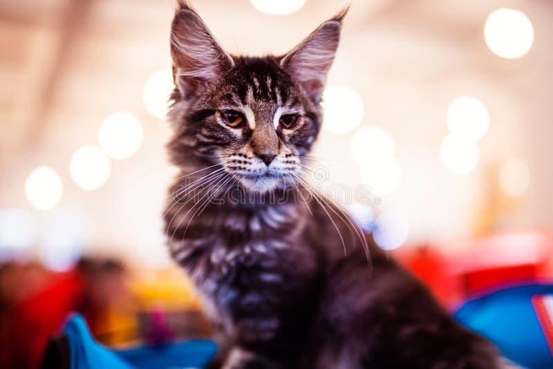 H?rligt f?rsilvra den Maine Coon katten fotografering för bildbyråer