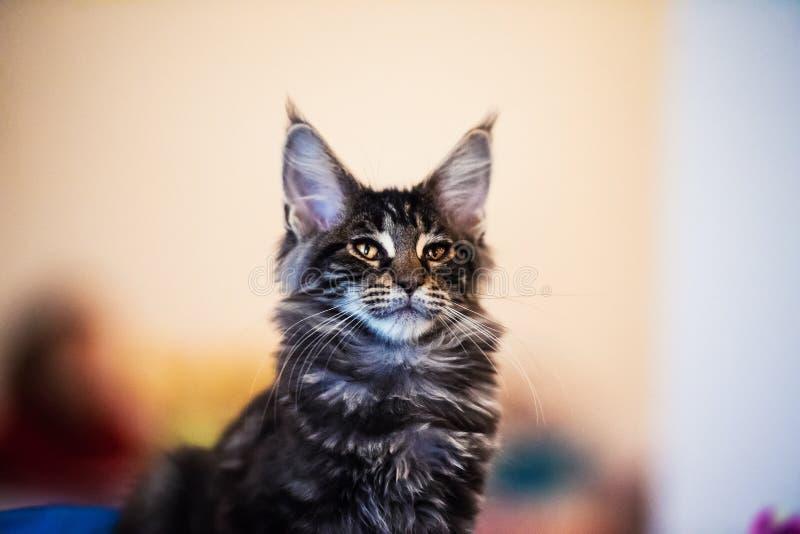 H?rligt f?rsilvra den Maine Coon katten royaltyfri fotografi