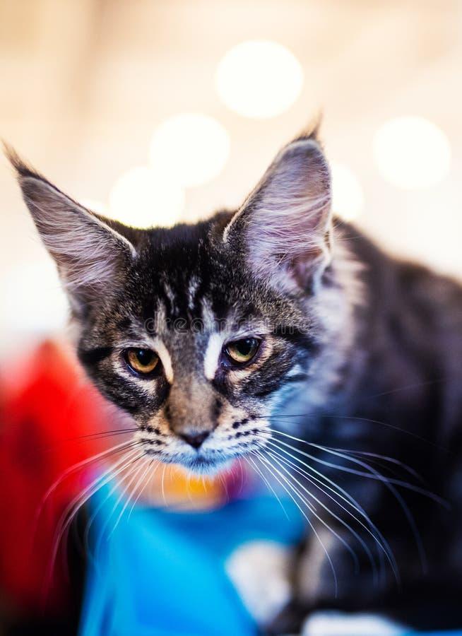 H?rligt f?rsilvra den Maine Coon katten arkivbild