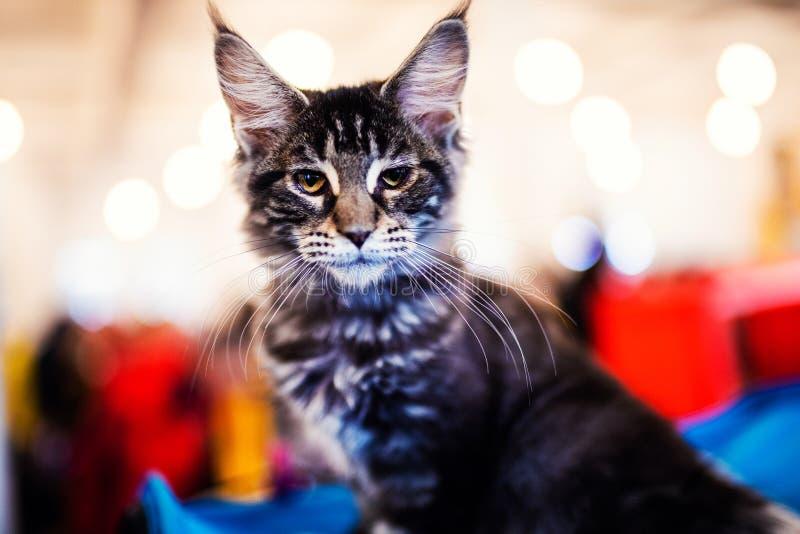 H?rligt f?rsilvra den Maine Coon katten arkivfoton