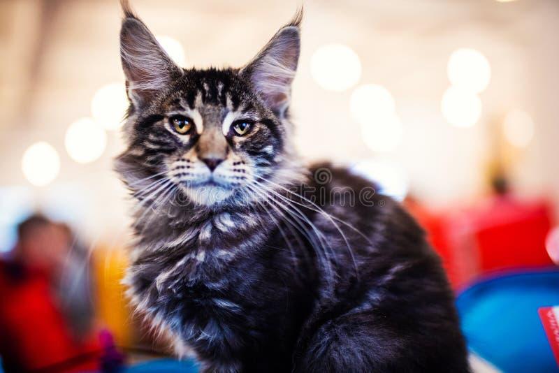 H?rligt f?rsilvra den Maine Coon katten arkivfoto
