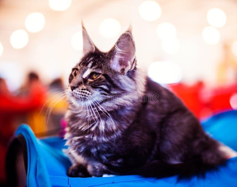 H?rligt f?rsilvra den Maine Coon katten royaltyfri bild