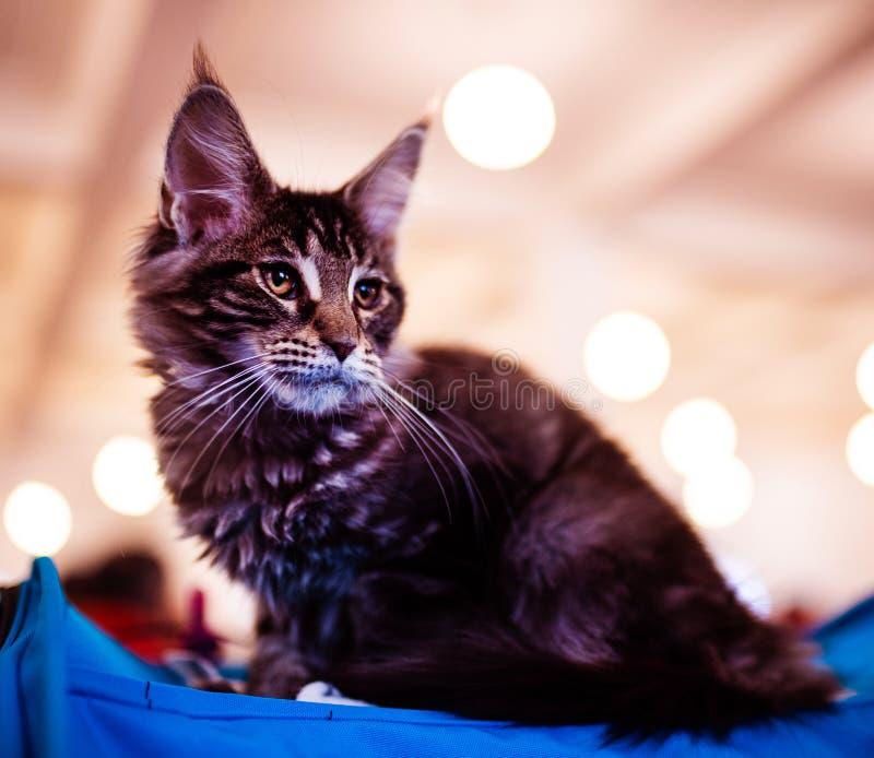 H?rligt f?rsilvra den Maine Coon katten royaltyfri foto