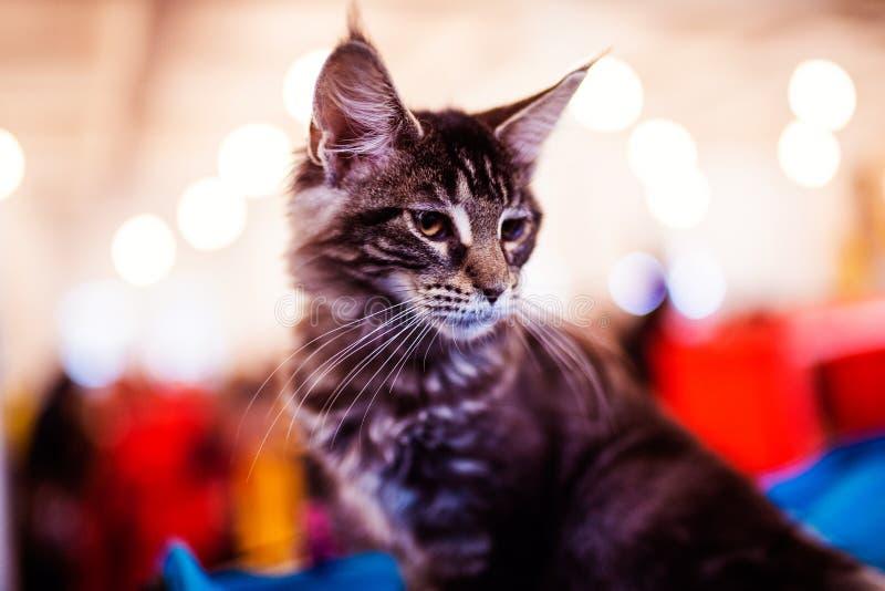 H?rligt f?rsilvra den Maine Coon katten arkivbilder